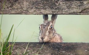 Picture nature, the fence, hare