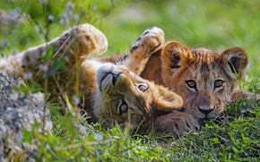 Picture grass, the cubs, a couple
