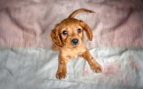 Picture animal, dog, puppy, cub, Cocker Spaniel, Ekaterina Kikot