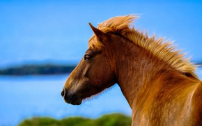 Picture face, nature, horse, horse, profile, pond, chestnut, blue sky, Icelandic