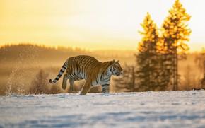 Picture winter, field, forest, light, snow, tiger, running, walk, bokeh