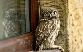 Picture house, owl, bird, window