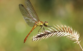 Wallpaper background, dragonfly, insect, a blade of grass