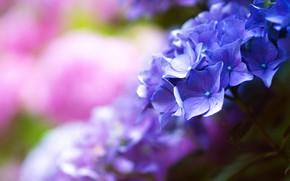 Picture flowers, purple, lilac, bokeh, blurred background, hydrangea