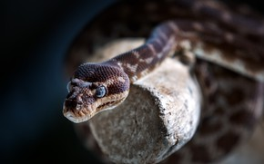 Picture nature, background, snake