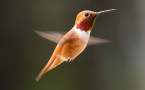 Picture Hummingbird, bird, beak
