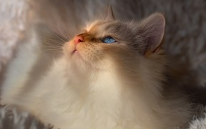 Picture cat, white, cat, look, light, comfort, kitty, portrait, fluffy, red, bed, plaid, kitty, blue eyes, …