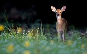 Picture grass, the dark background, deer, fawn