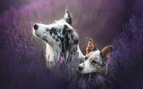 Picture field, dogs, flowers, two, portrait, pair, puppy, a couple, muzzle, lavender, motley, two dogs, Australian …