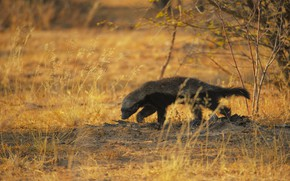 Picture grass, branches, nature, pose, animal, glade, black, beast, walk, the bushes, honey badger, семейство куньи