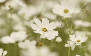 Picture field, summer, space, flowers, background, glade, white, a lot, bokeh, kosmeya, cosmos