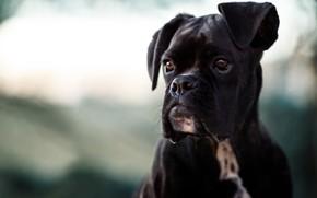 Picture face, background, portrait, dog, Boxer