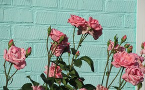 Picture flowers, wall, roses, 2018, pink roses, Meduzanol ©, beryuza
