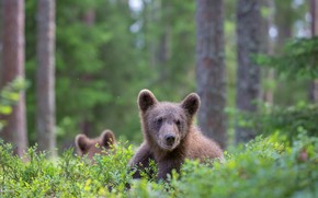 Picture forest, look, face, glade, bear, bear, bear, bears, brown