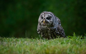 Picture grass, look, owl, bird, glade, owl