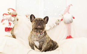 Picture holiday, new year, dog, gifts, French bulldog