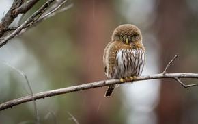 Picture bird, round, branch, owl
