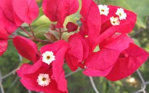 Picture flowers, garden, bougainvillea, bucnh