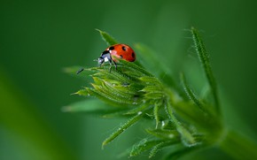 Picture grass, macro, background, beetle, insect, Ladybug