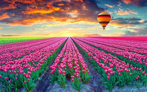 Picture field, sunset, balloon, tulips