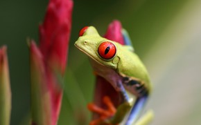 Picture green, frog, red eyes, twig