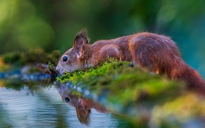 Picture water, nature, animal, moss, protein, drink, pond, bokeh, animal, rodent, Tamas Hauk
