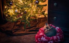 Picture winter, balls, light, room, holiday, balls, sleep, dog, Christmas, sleeping, New year, fabric, lies, tree, …
