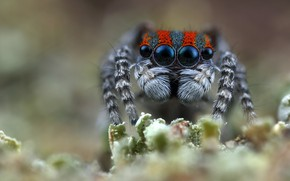 Picture eyes, look, macro, nature, background, plant, spiders, portrait, legs, spider, blur, face, blurred background, hairy, …