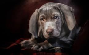 Picture look, face, portrait, dog, puppy, The Weimaraner, Weimar pointer