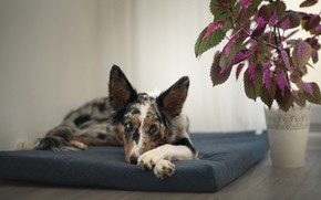 Picture look, face, pose, background, room, wall, stay, plant, dog, lies, pot, mattress, the border collie, …