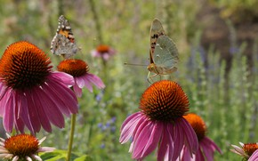 Picture summer, butterfly, flowers, nature, plants, nature, flowers, butterflies, plants and flowers