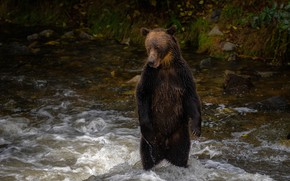Picture wet, pose, river, stones, shore, for, bear, bathing, bear, is, brown