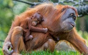 Picture baby, mother, Orangutan
