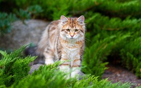 Picture cat, cat, look, branches, nature, kitty, garden, red, needles, striped