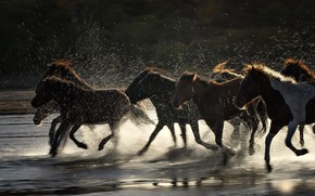 Picture squirt, river, horse, the herd