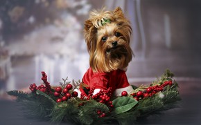 Picture look, branches, red, berries, holiday, dog, Christmas, hairstyle, costume, New year, face, sitting, needles, dog, …