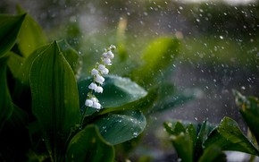 Picture Lily of the valley, raindrops, Primula veris