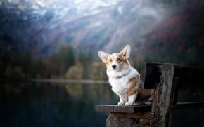 Picture bench, dog, bokeh, Welsh Corgi
