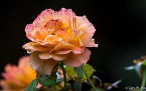 Picture macro, background, rose, orange rose