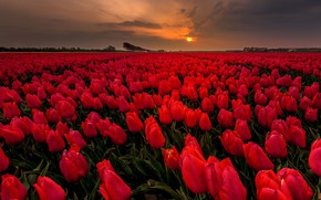 Picture field, flowers, the evening, tulips