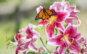 Picture macro, butterfly, Lily, petals, stamens