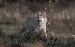 Picture grass, look, nature, grey, wolf, running