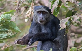 Picture Africa, the primacy of, Tanzania, blue monkey