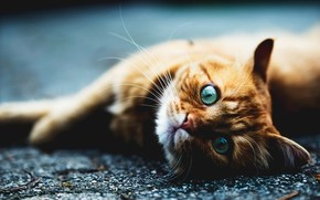 Picture cat, cat, mustache, look, asphalt, face, pose, paws, red, lies, blue eyes, the expression, blue …