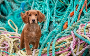 Picture cute, ropes, Spaniel