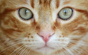 Picture cat, eyes, cat, look, close-up, red, muzzle, cat