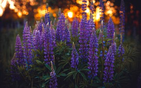 Picture light, flowers, glade, Bush, lilac, bokeh, lupins