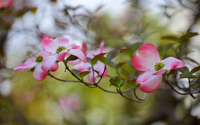 Picture flowers, branches, flowering, dogwood