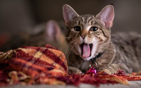 Picture language, cat, cat, look, kitty, grey, mouth, fabric, lies, kitty, face, striped, yawns