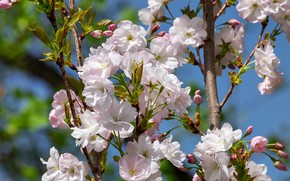 Picture the sky, branches, nature, cherry, tree, spring, garden, Sakura